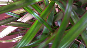 Dracaena Marginata Dragon Tree Dracaena Marginata Youtube