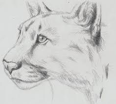 mountain lion sketch by wallabby on deviantart
