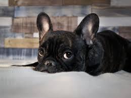 french bulldog pets at home