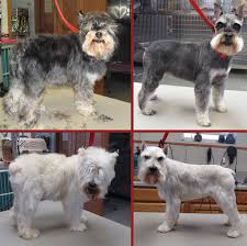 schnauzers hair cuts more grooming pictures chazlyn pet boarding grooming