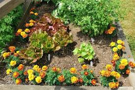 Companion Planting Garden Layout Companion Vegetable Gardening Marigolds Cucumber Lettuce Companion