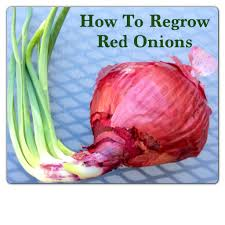 Vegetables You Can Regrow by How To Regrow Celery Garlic And Green Onions