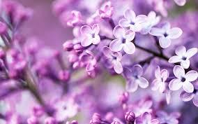 purple flower purple flowers wallpapers hd wallpapers id 12714