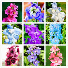 delphinium flowers 100pcs bag mixed colourful rocket larkspur consolida ajacis