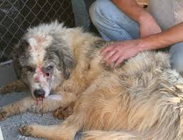 great pyrenees rescue provides wonderful dogs to good homes colorado great pyrenees rescue community a hart bigger than most