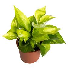 interior simple interior potted plant with pothos plant for