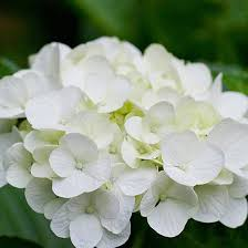 white flower top 25 most beautiful white flowers hydrangea flower and white