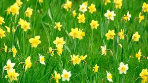 download wallpaper 2048x1152 daffodils flowers herbs flowerbed