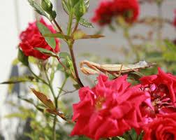 free images nature blossom flower petal praying mantis
