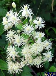 Fragrant Climbing Plants - 94 best climbing plants for the garden images on pinterest