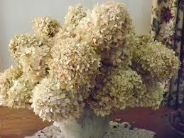 dried hydrangeas s br by roberta cardew hydrangeas 101