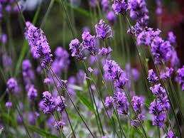 Indoor Fragrant Plants Fragrant Indoor Lavender Goffle Brook Farms