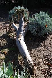 plantfiles pictures aloe species quiver tree kokerboom aloe