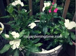 Vinca Flowers 7 Tips To Get Free Vinca Flowers Containergardening It U0027s