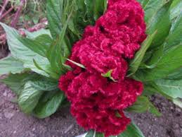 cockscomb flower fedco seeds coral gardens cockscomb flower seeds