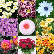 aliexpress com buy perennial 400 mix color daisy flower seeds