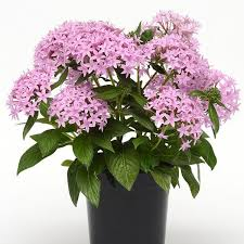Pentas Flower Lucky Star Lavender Pentas