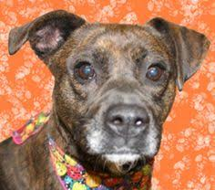 boxer dog 9 years old rookie is an adoptable boxer dog in hamilton oh boxer mix male