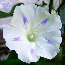 bellfarm morning glory mixed colorful petals with white stripe