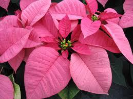poinsettias poinsettia pink u2013 huntersgardencentre com