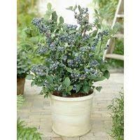 mirtillo in vaso susino reine claude nano in vaso 20cm piante da frutto nane vaso