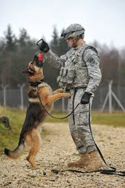 belgian shepherd us army perro policia perros militares pinterest