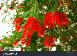 flowering weeping bottlebrush tree callistemon viminalis stock
