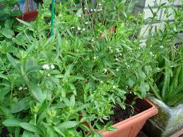 native american healing plants chamomile native american herbalism