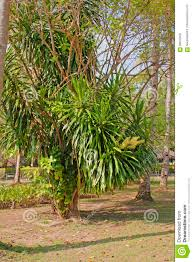 dracaena fragrans cornstalk dracaena in the natural environmen