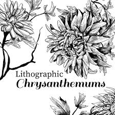 lithographic chrysanthemum clip art vintage style floral