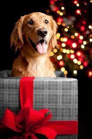 christmas dog cães cocker spaniel setter labrador e golden set
