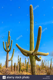 native sonoran desert plants sonoran desert people stock photos u0026 sonoran desert people stock