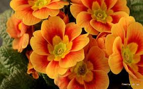 pretty backgrounds for computer orange flower wallpaper background desktop wallpapersafari