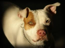american pitbull terrier in uk why pit bulls are banned in the uk