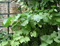 xgrapevine schisandra and ivy leaves on green trellis highbury
