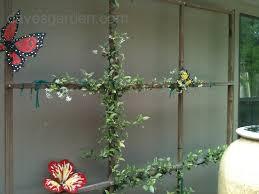 star jasmine on trellis plantfiles pictures confederate jasmine star jasmine u0027variegatum