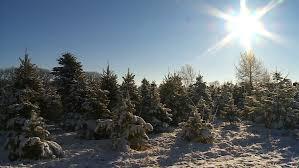 krueger u0027s christmas tree farm wcco cbs minnesota