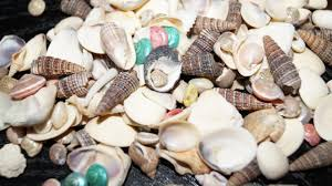 assorted seashells bulk seashells wholesale seashells craft shell