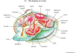 clam anatomy diagram images learn human anatomy image