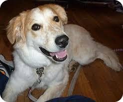 australian shepherd or golden retriever honey adopted puppy colorado springs co golden retriever