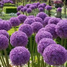 allium flowers allium bulbs globemaster american