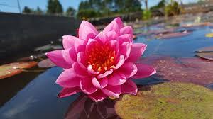 beautiful plants rosepond aquatics beautiful pond plants