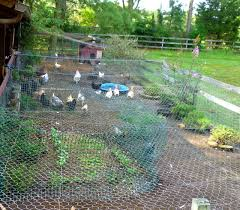 Chickens In The Backyard by Chicken Run Landscaping Fresh Eggs Daily