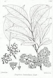syzygium cumini wikipedia