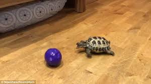 bubba the tortoise thinks he u0027s a dog daily mail online