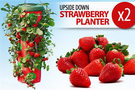 scoopon 2 x upside down strawberry planter only 17 free
