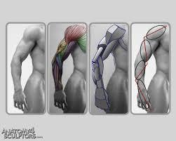 Human Anatomy Reference Best 25 Arm Anatomy Ideas On Pinterest Anatomy Reference Leg