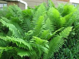 buy native plants give your garden a boost mix one tablespoon regular epsom salts