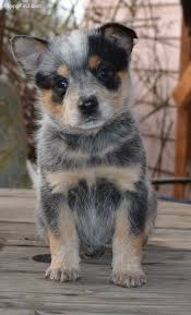 australian shepherd australian cattle dog mix 25 best cattle dogs ideas on pinterest adorable animals facts