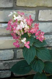Bulk Hydrangeas Best 25 Quick Fire Hydrangea Ideas On Pinterest Pinky Pinky